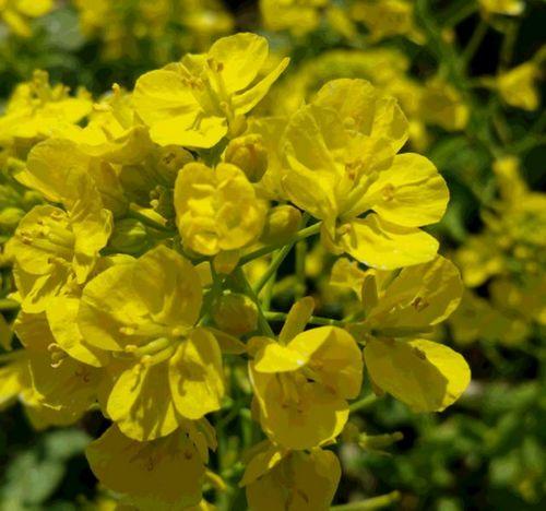 2菜の花.jpg